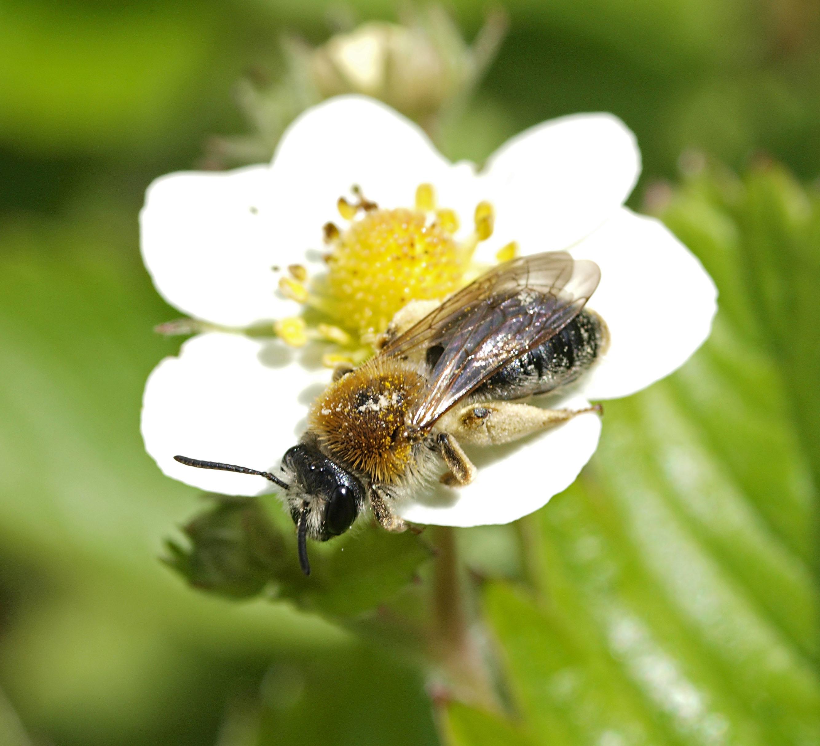 Flere blomsterfrø skal gavne vilde bier. Foto: CCBY Line Sabroe